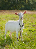 Young goat on green grass. Background on bright sunny day Stock Image
