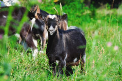 Young goat in green grass Stock Image