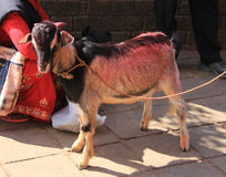 A young goat. At the hindu temple at Gorkha, waiting to be slaughtered Stock Image