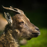Young goat horns Stock Photography