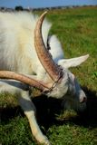 Young goat horns Stock Image