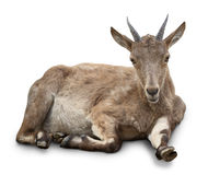 Young goat Royalty Free Stock Photography