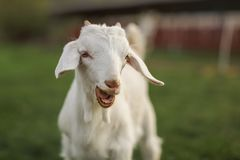 Young goat kid looking into camera, with mouth open, small teeth visible stock image