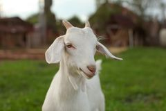 Young goat kid with small horns, looking into camera, blurred fa royalty free stock photo