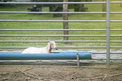 Young goat laying on a food groove,selective focus ,filtered image,light effect added Royalty Free Stock Photography