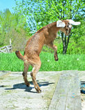 Young goat leaping Stock Photo