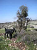 Young Goat in Lebanon royalty free stock image
