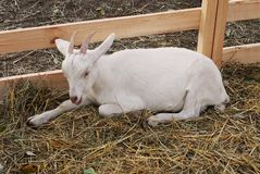 Young goat lies royalty free stock photo