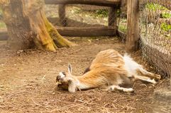 Young Goat lying on the ground.  Royalty Free Stock Image