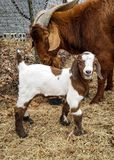 Young goat and male boer. Young male boer and dad royalty free stock image