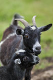 Young goat with mother Royalty Free Stock Photography
