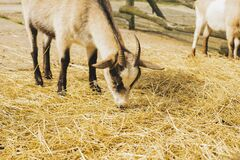 Free Young Goat On Animal Farm. High Quality Photo. Royalty Free Stock Photos - 216637268