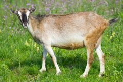 Young goat pasture Stock Images