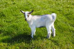 Young goat in pasture Stock Images