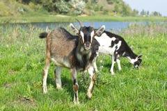 Young goat pasture Stock Photos