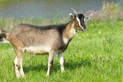 Young goat pasture. On a green grass Royalty Free Stock Image