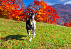 Young goat on pasture Royalty Free Stock Photography
