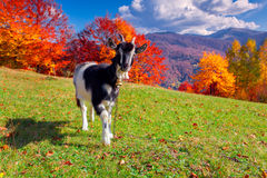 Young goat on pasture Royalty Free Stock Images