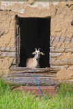 Young goat peeps out the window of an abandoned house Royalty Free Stock Image