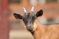 Young goat portrait Stock Images