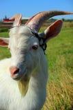 Young goat, portrait Stock Photos