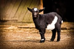 Baby goat Royalty Free Stock Photos