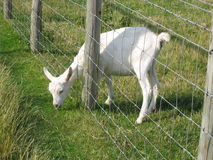 Young Goat reaching through fence for greener grass.  Royalty Free Stock Image