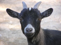 Young goat ready Royalty Free Stock Photos