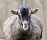Young goat on a rock Royalty Free Stock Photo