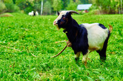Young goat on the rural pasture. Young male horny goat grazing on green meadow Royalty Free Stock Photography