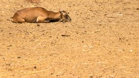 A young goat on sand royalty free stock photos