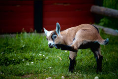 A young goat scratching. Its nose Stock Photography