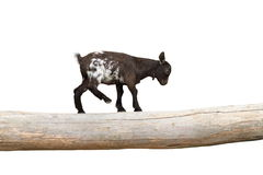 Young goat  showing equilibrium on a clog Stock Photos