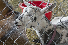 Young Goat Speckled Stock Photography