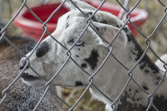 Young Goat Speckled Stock Photo