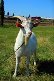 Young goat standing on a meadow Royalty Free Stock Image