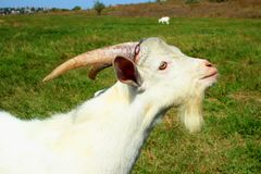 Young goat standing on a meadow Royalty Free Stock Photography