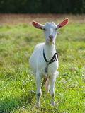 Young goat staying on green grass. Young goat on green grass background on bright sunny day Royalty Free Stock Photo