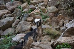 Young goat stops climbing and looks stock image