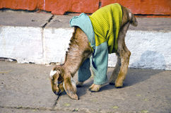 Young goat with sweater on Varanasi, India Stock Photos