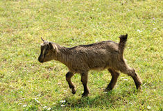 Young goat walking through a pasture Stock Image