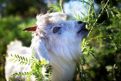 Young goatling Royalty Free Stock Photo