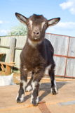 The young goatling. The young goatling on farm stock photos