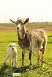 Young goatling Stock Photos