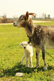 Young goatling Stock Images
