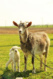 Young goatling Royalty Free Stock Image