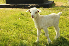 Young goatling outdoors Stock Images