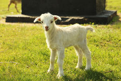 Young goatling outdoors Stock Photos