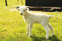 Young goatling Stock Photo