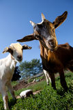 Young goats. On a meadow looking into the camera Royalty Free Stock Images